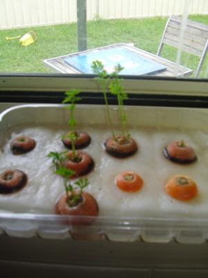 Growing Carrot Tops Used To Reinforce An Ongoing Garden